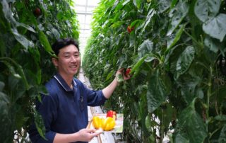 Hyunho Kim, bell pepper farmer, tends to his crop at Korean Air's Jedong Ranch.