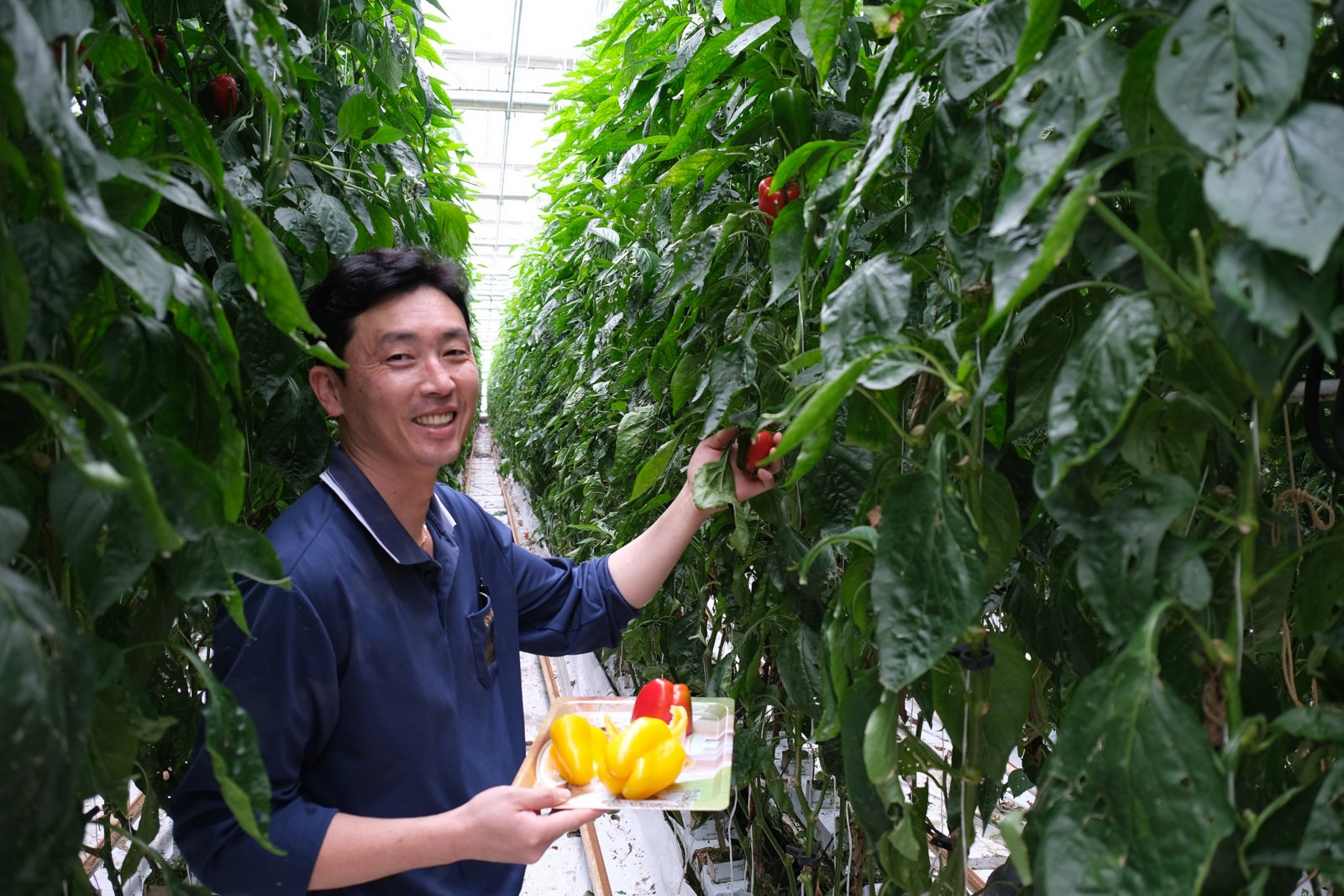 Hyunho Kim, bell pepper farmer, tends to his crop at Korean Air's Jedong Ranch.